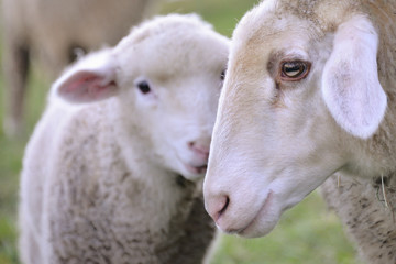 Mutterschaf mit Lamm