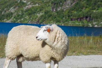 Schaf - Ovis