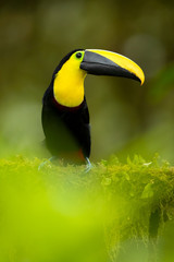 Foto op Plexiglas Toekan Choco toucan (Ramphastos brevis) is a near-passerine bird in the family Ramphastidae found in humid lowland and foothill forests on the Pacific slope of Colombia and Ecuador.