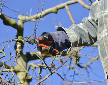 faremer pruning apple orchard in winter