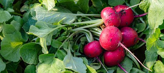 Fototapeta  Harvesting red radish from the field. Bunch of red radish obraz