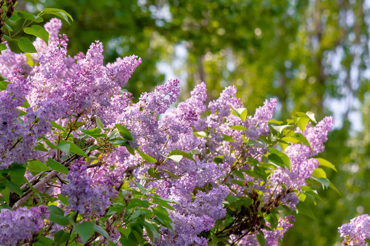 lilac shrub in blossom. beautiful springtime nature background in morning light.