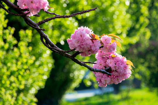 pink cherry blossom background in backlit sunlight. beautiful nature scenery in springtime