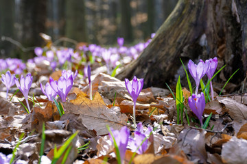 Deurstickers Krokussen crocus flower near the stump in the forest. beauty of wild purple blooming in springtime