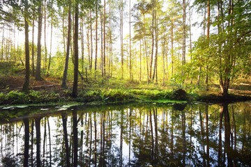 A small river in a mixed coniferous forest. Mossy trees close-up. Reflections on the water. Sun...