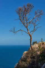 Lonely dry tree on the steep rock of the peak Penon de Ifach against the background of the Mediterranean sea, Spain