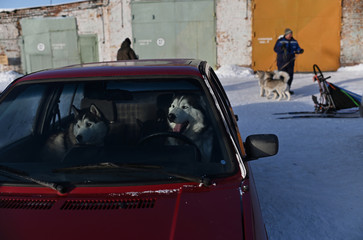 Dogs are seen inside a car during the Hyperborea-2020 dog sled race in Omsk