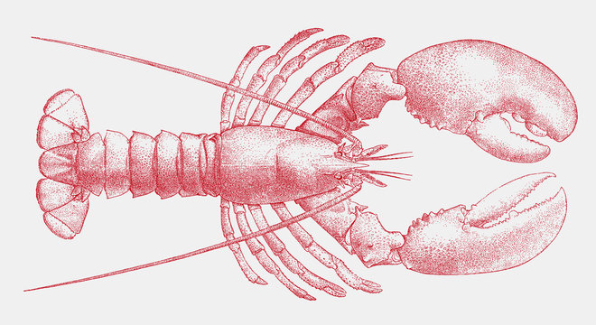 American lobster, homarus americanus, the popular seafood from the Atlantic coast of the United States in top view