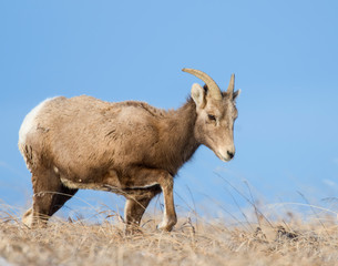 Bighorn Sheep in the Badlands during winter