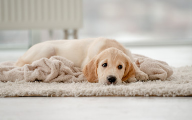 Lovely puppy lying on rug