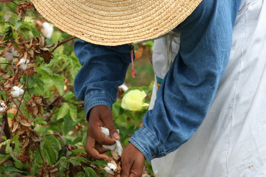 Man Harvesting Sea Island Cotton On Field