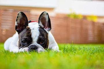 Portrait Of French Bulldog Sitting On Grassy Field