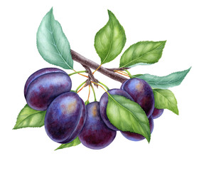 Watercolor illustrations with plums isolated on the white background: fruits, branch and leaves
