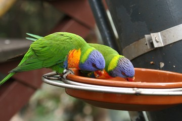 Parrots Perched On Feeding Container