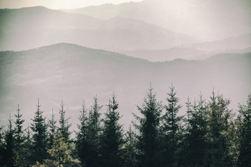 Beautiful Foggy mountain pine tree forests covering with a lot of fog.