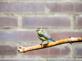 Blue tit, Cyanistes caeruleus, young perched on bare branch in garden, Netherlands