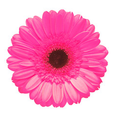 Poster de jardin Gerbera Pink gerbera flower isolated on white background. Flat lay, top view