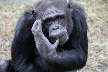 Photo sur Aluminium Singe chimpanzees