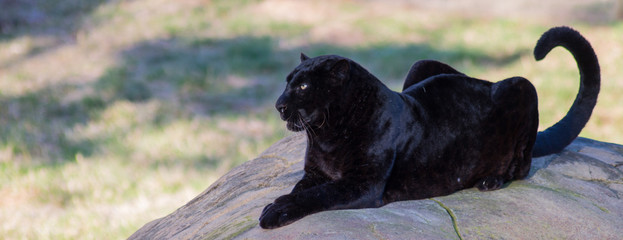 Foto auf Leinwand Panther CLOSE-UP OF black panther