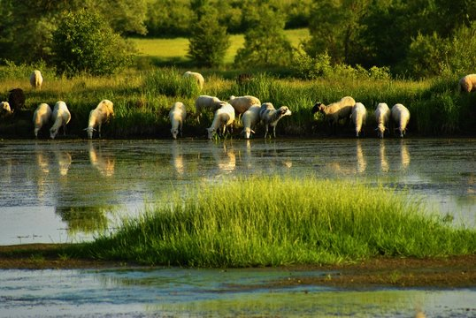 Flock Of Sheep Drinking Water From Lake