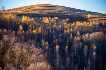 Birch tree landscape in the morning autumn