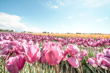 Tulip Fields Purple