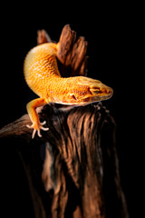 macro photo of leopard gecko on the wood in the forest, isolated on black background