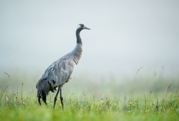 Printed kitchen splashbacks Bird Common crane bird (Grus grus)