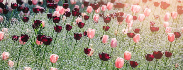 Colorful tulip field, purple flower tulip in spring background, selective focus, closeup. Beautiful...