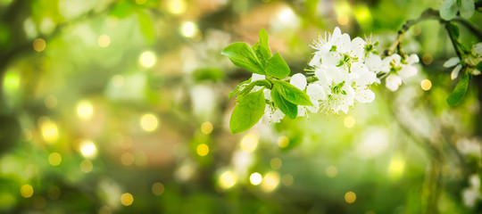 Poster Spring Beautiful floral spring abstract background of nature. Branches of blossoming cherry with soft focus on gentle light green background. Greeting cards with copy space