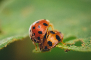 rare picture of a ladybugs couple making love on green leaf