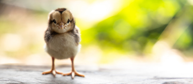 cute chick on wooden with light nature backdrop. chicken one day old.