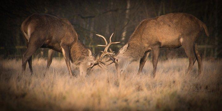 Deer Locking Horns On Field