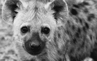 Tuinposter Hyena CUTE YOUNG HYENA LOOKING AT CAMERA
