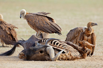 White-backed vultures (Gyps africanus) scavenging on a wildebeest carcass, South Africa. Fototapete