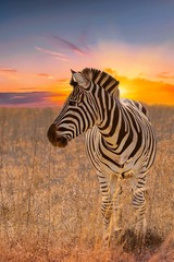 Zebra Standing On Grassy Field Against Sky During Sunset