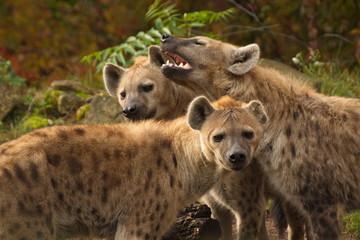 Wall Murals Hyena GROUP OF HYENAS