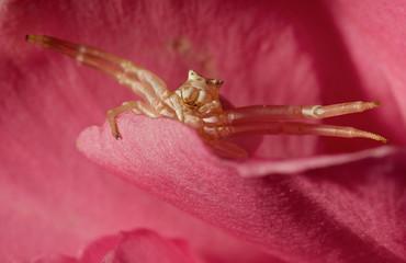 Araña en posición de ataque