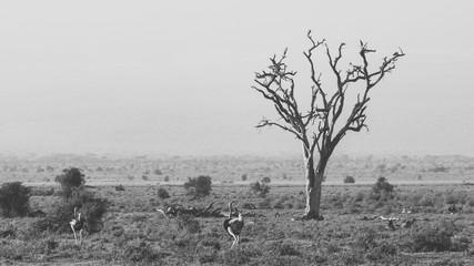 Poster Struisvogel BARE TREE ON LANDSCAPE AGAINST SKY