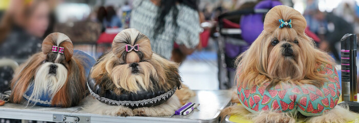 Group of Shih Tzu dogs, sitting on pillows, hairs getting groomed, colourful glittering bow clips top, at dog show contest