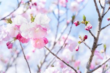 美しい桜の写真。春のイメージ。新学期のイメージ。