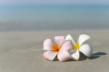 Zelfklevend Fotobehang Frangipani White and pink plumeria frangipani flowers on sandy beach in front of sea coast. Tropical exotic view. Travel vacation concept. Free copy space.