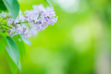 Wall Murals Lilac Spring branch of blossoming lilac. Lilac flowers bunch over blurred background. Purple lilac flower with blurred green leaves. Valentine's day. Copy space