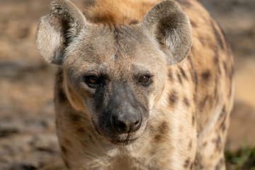 Garden Poster Hyena spotted hyena head close up