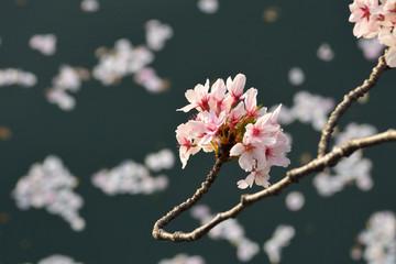 桜の木と水面に浮かぶ桜の花びらを撮影しました。 Photograph of cherry tree and cherry blossom petals floating on the water surface.