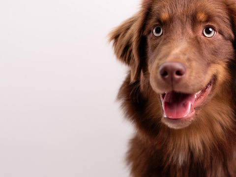 brauner Hund vor weißem Hintergrund