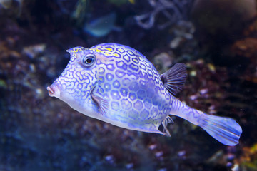 Honeycomb cowfish (Acanthostraction polygonius) underwater in the tropical caribbean sea