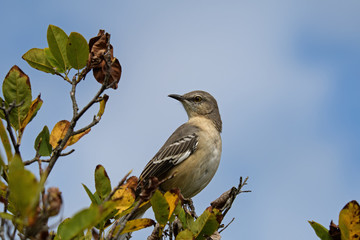 Northern mockingbird on branch. It is the only mockingbird commonly found in North America. It is common and conspicuous in suburban habitats and brushy fields. It feeds on insects and fruits.