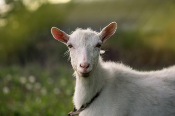 Close up goat in farm on green grass.  Photo of a happy goat. Cute animal portrait