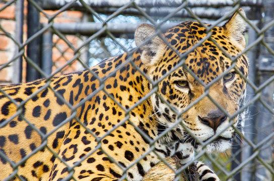 Onça presa em zoológico